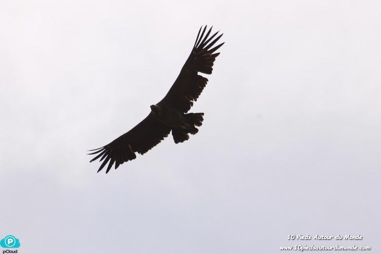 Parc Torres del Paine - Mirador Cuernos, condor