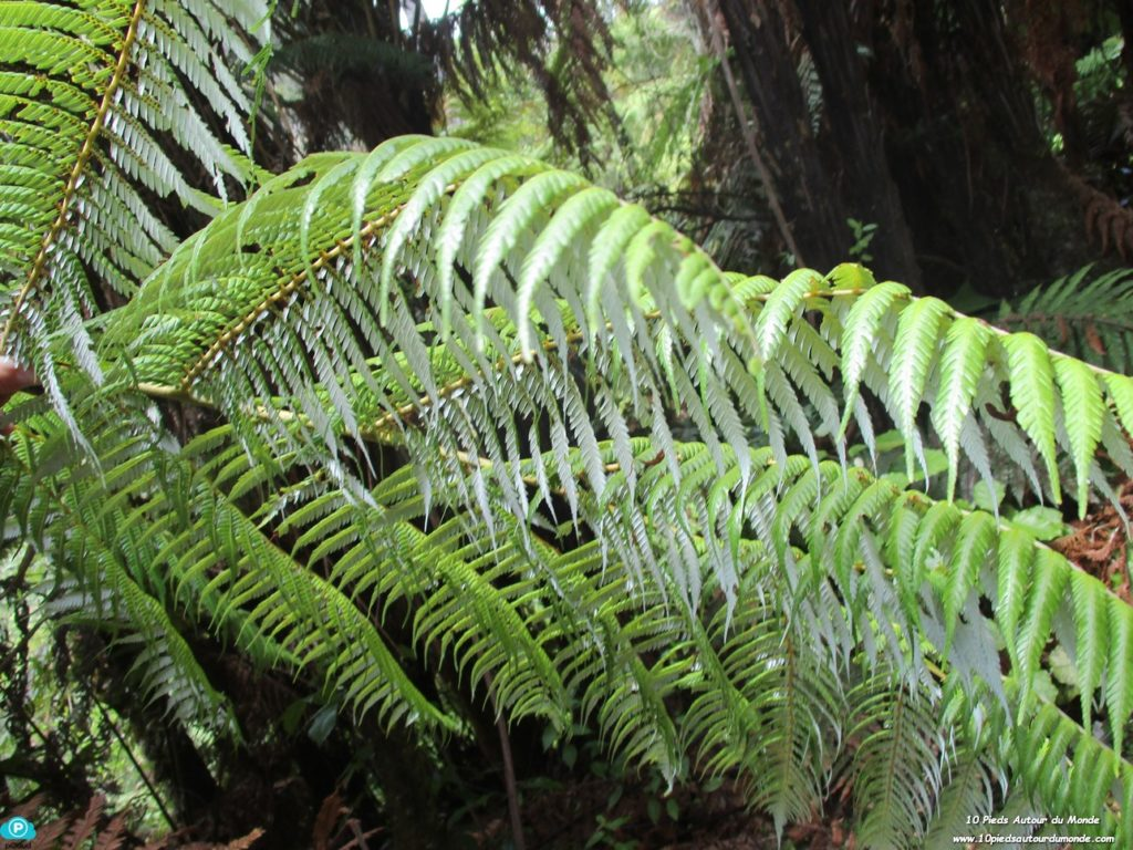 rivière Whanganui - silver tree fern