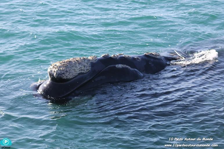 Baleine - Peninsula Valdes