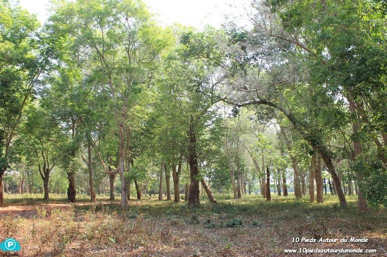 Hévéas de l'ancienne plantation française