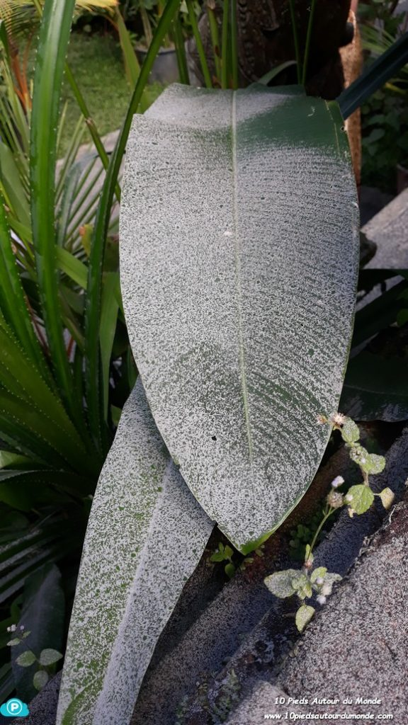 Cendres sur feuilles