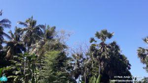 cocotier vs palmier